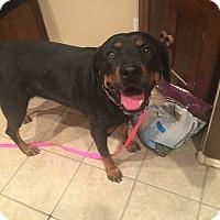 Adopt A Pet :: JETTA - Gilbert, AZ