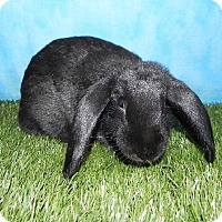 Lop, Holland for adoption in Pflugerville, Texas - Satine