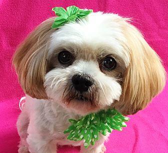 Lhasa Apso Dog for adoption in Irvine, California - Lola Bubbles