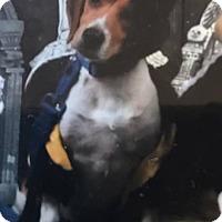 Beagle Mix Dog for adoption in Rancho Cucamonga, California - Quincy