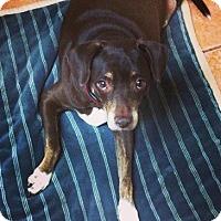 Adopt A Pet :: Godiva - Davie, FL