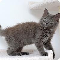 Adopt A Pet :: Captain Teemo - St. Louis, MO