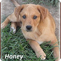 Adopt A Pet :: Honey - Marlborough, MA