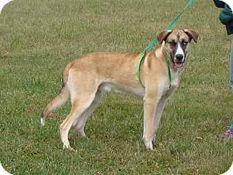 Husky/Great Dane Mix Dog for adoption in Cameron, Missouri - ROYAL