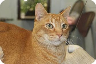 Domestic Shorthair Cat for adoption in Greensboro, North Carolina - Fitts