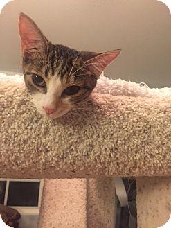 Calico Kitten for adoption in Glendale, Arizona - Mrs. Elway