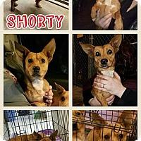 Adopt A Pet :: Shorty-pending adoption - Manchester, CT