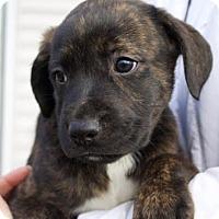 Adopt A Pet :: Piper - Toms River, NJ