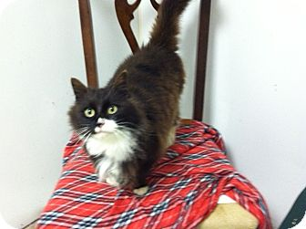 Domestic Longhair Cat for adoption in Chesterfield, Virginia - Jasmine