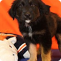 Adopt A Pet :: Justice - Broomfield, CO