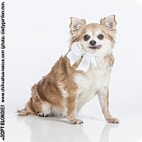 Adopt A Pet :: Blondie - Dallas, TX