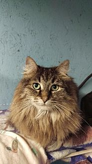 Domestic Mediumhair Cat for adoption in Brainardsville, New York - Savannah