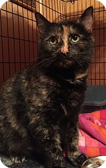 Domestic Shorthair Cat for adoption in Somerset, Kentucky - Patches
