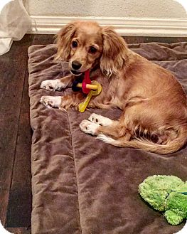 Cocker Spaniel Mix Puppy for adoption in Orange, California - Mazzy