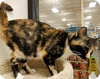 Calico Cat for adoption in Colonial Heights, Virginia - Charlotte