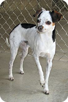 Chihuahua Mix Dog for adoption in Ruidoso, New Mexico - Buttons