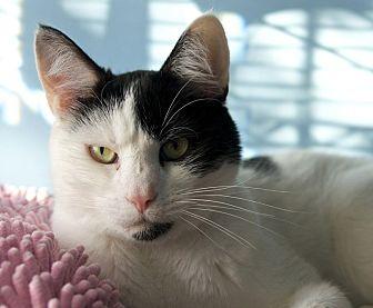 Domestic Shorthair Cat for adoption in LaGrange, Kentucky - Oreo
