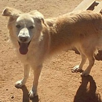 Husky Mix Dog for adoption in Apple Valley, California - Marley