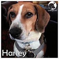 Adopt A Pet :: Harley - Novi, MI