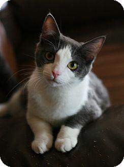 Domestic Shorthair Kitten for adoption in Attalla, Alabama - Houston