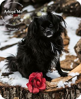 Chihuahua/Pomeranian Mix Dog for adoption in New Milford, Connecticut - Weston