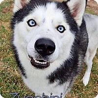 Adopt A Pet :: Zucchini - Carrollton, TX
