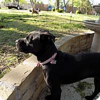 Adopt A Pet :: Sasha - Lavon, TX