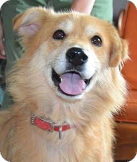 Golden Retriever/Shepherd (Unknown Type) Mix Dog for adoption in Brattleboro, Vermont - Belle