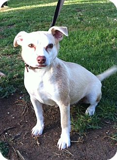 Terrier (Unknown Type, Small) Mix Dog for adoption in El Cajon, California - TOMMY (HW)