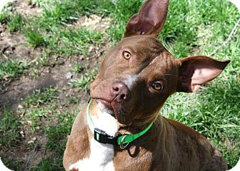 American Pit Bull Terrier Mix Dog for adoption in Des Peres, Missouri - Riggs