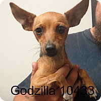 Adopt A Pet :: Godzilla - Greencastle, NC