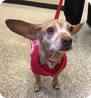 Dachshund/Chihuahua Mix Dog for adoption in Santa Ana, California - Lucy