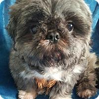 Adopt A Pet :: Shit-tzu boy - Pompton Lakes, NJ