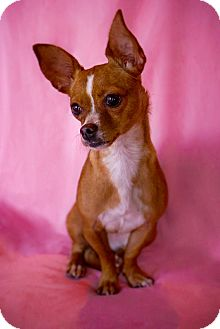 Chihuahua/Jack Russell Terrier Mix Dog for adoption in Irvine, California - Foxy