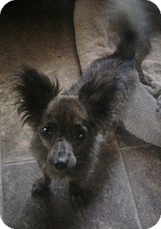 Chihuahua Dog for adoption in Los Angeles, California - Mike