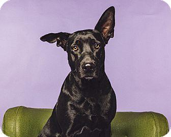 Labrador Retriever/Schipperke Mix Dog for adoption in Houston, Texas - Bella Ray