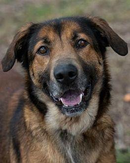 Shepherd (Unknown Type) Mix Dog for adoption in Loxahatchee, Florida - Naomi