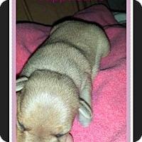 Adopt A Pet :: Cappuccino - Milton, GA