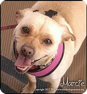 Chihuahua/Dachshund Mix Dog for adoption in Simi Valley, California - Marcie