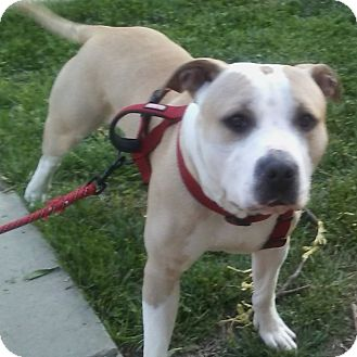 Pit Bull Terrier Mix Dog for adoption in Baltimore, Maryland - Tenpin (COURTESY POST)
