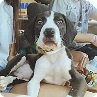 Adopt A Pet :: Babylon - MCLEAN, VA