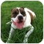 Photo 2 - American Bulldog Mix Dog for adoption in Cincinnati, Ohio - Soldier - Courtesy Post