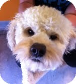 Bichon Frise/Poodle (Miniature) Mix Dog for adoption in Boulder, Colorado - Windsor