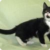 Adopt A Pet :: Shakera - Powell, OH
