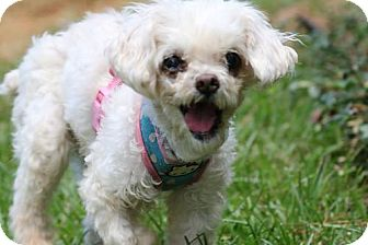 Poodle (Miniature)/Pekingese Mix Dog for adoption in Alpharetta, Georgia - Mitzi (dog)
