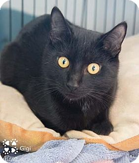 Domestic Shorthair Kitten for adoption in Merrifield, Virginia - Gigi