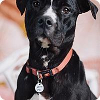 Adopt A Pet :: Ebony - Portland, OR