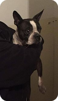 Boston Terrier Dog for adoption in Weatherford, Texas - Molli