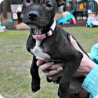 Adopt A Pet :: Cinder - Spring Lake, NJ