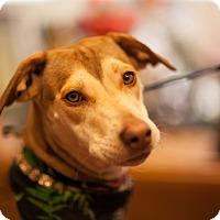 Adopt A Pet :: Karita - New York, NY